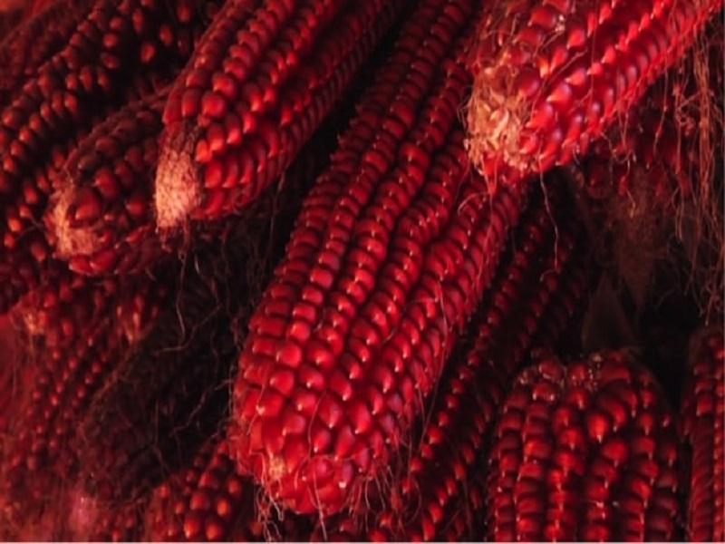 Alla Scoperta Del Mais Rosso